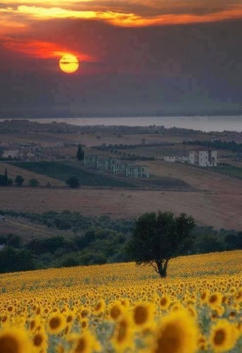 Tuscany sunset & sunflowers