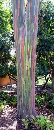Rainbow Eucalyptus ,  Eucalyptus deglupta