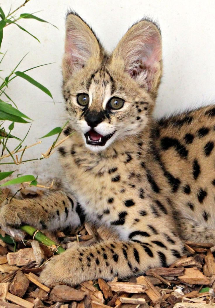 Colchester Zoo welcomed a baby Serval named Nala.