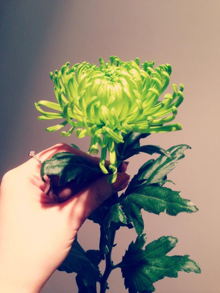 국화 샴록, Shamrock Chrysanthemum