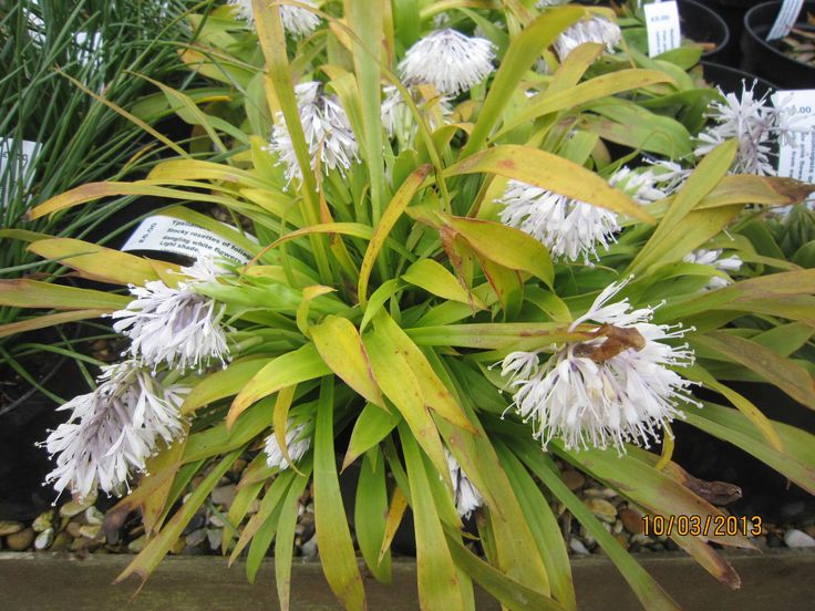 Ypsilandra thibetica  Stocky rosettes of green foliage and a profusion of white flowers on short stems in spring. Ground covering.  1 litre pot  £5.00