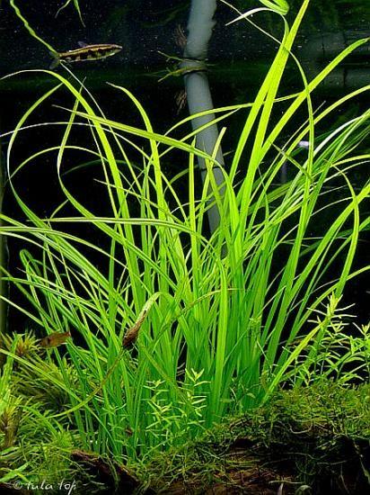 C. helferi produces long, flowing leaves that arc elegantly across the water column.