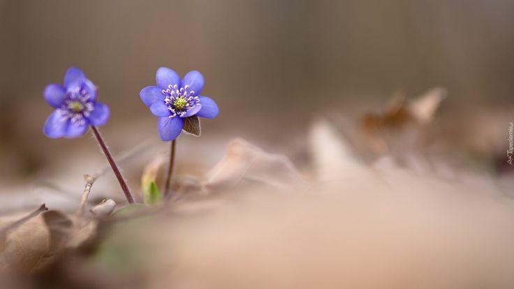 Kwiaty, Przylaszczka