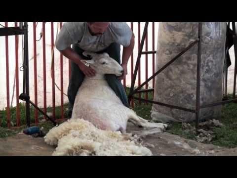 Sheep Shearing video-- New Coat for Anna