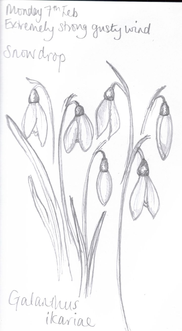 How To Draw Snowdrops  Google Search