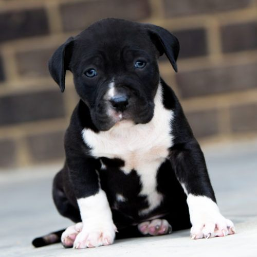 Red Nose Pitbull Puppies For Sale | Baby Pitbulls For Sale