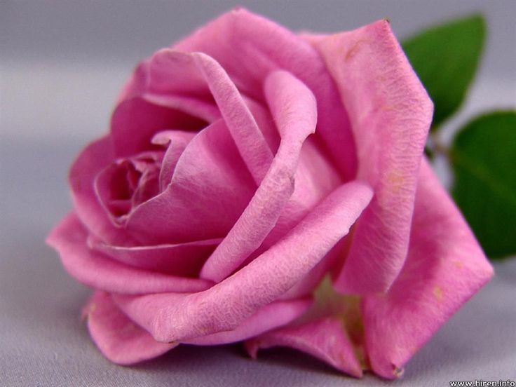 21 best Roses images on Pinterest | Backgrounds, Roses and Pink roses