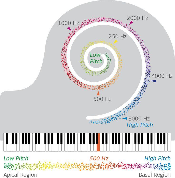 Tonotopy: how the ear hears so many sounds