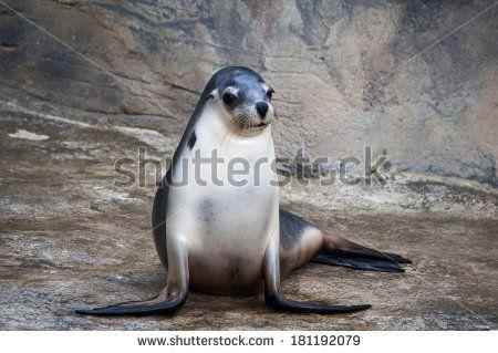 Lauren Proctor Photography   Seal sitting patiently on rocks on Shutterstock