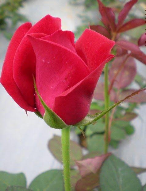 Pin Di Roses