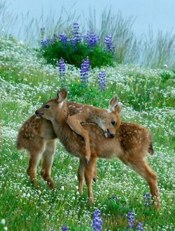 Awe- cuteness! Reminds me of a deer & her two fawns that live in a field near us. We saw them bedding down in the cow pasture last night. Precious.