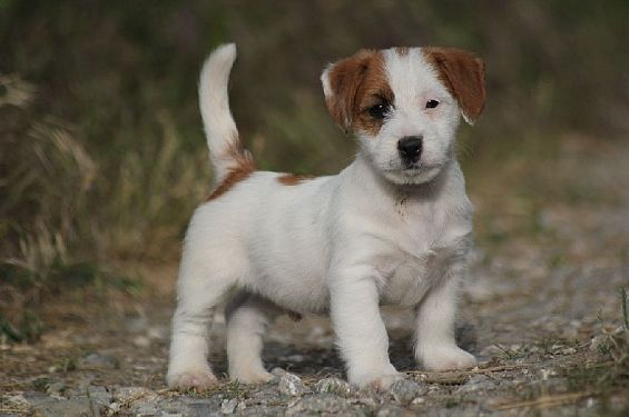 Adorable petit jack russell