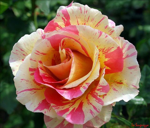 Verigated Roses