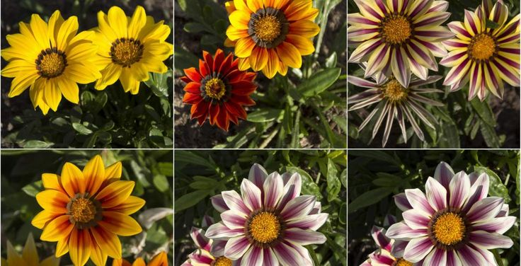 Τα άνθη της μαργαρίτας αποτελούν μια σταθερή αξία αναλλοίωτη στο χρόνο.