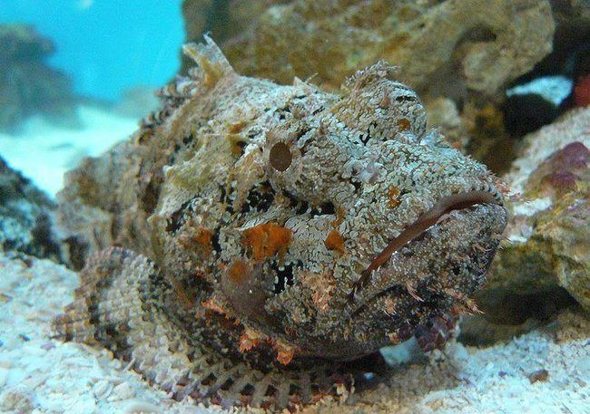 A stonefish can look like a rock or coral reef but it is one of the most venomous fish in the world. The spines on the dorsal fin inject toxic venom that cause immense pain and possible death.