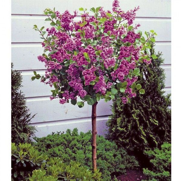 Best 25 dwarf lilac tree ideas on pinterest for Dwarf decorative trees