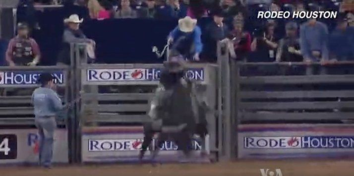 Kids Scramble with Calves at Houston Rodeo