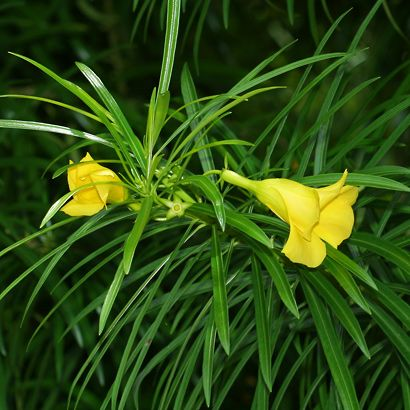 Thevetia peruviana - Be-still Tree, Luckynut, Yellow Oleander - Hawaiian Plants and Tropical Flowers