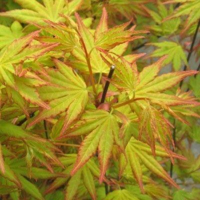 Les 41 meilleures images du tableau arbustes a fleurs sur - Arbre feuille rouge toute l annee ...