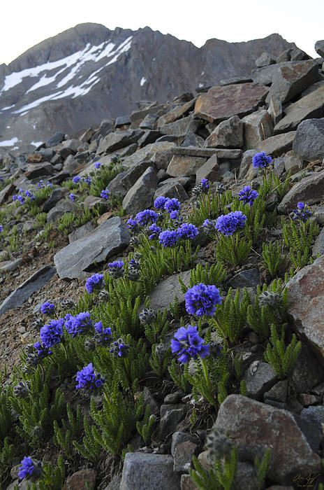 Colorado 14er Wilson Peak with wildflowers - Aaron Spong #colorado #14ers