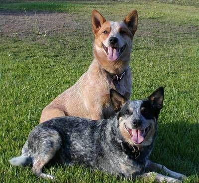 Australian Cattle Dog - the peach one looks like Hank - the blue like my old heeler Storm