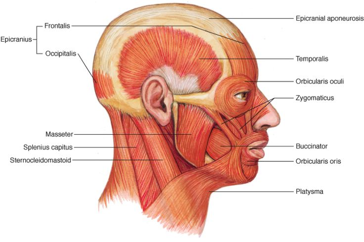 Diagram Of Face And Jaw Muscles Search For Wiring Diagrams