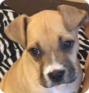 Lexington, KY Boxer/Labrador Retriever Mix. Meet Peanut