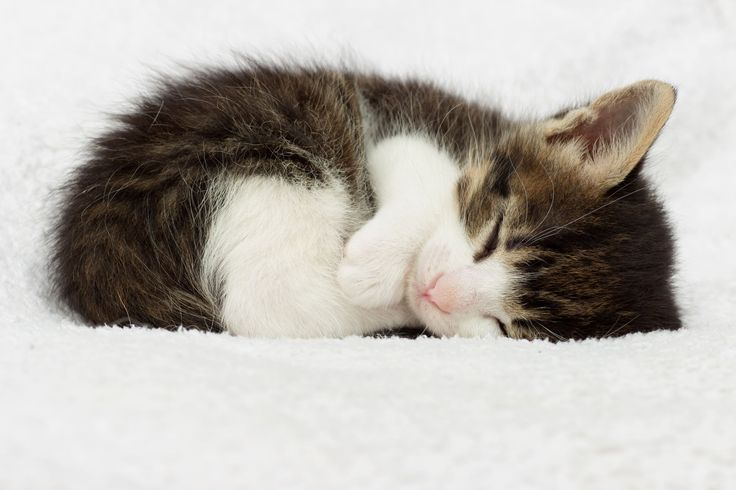 The world's smallest cat, named Tinker Toy, is just 2.75 inches (7 cm) tall.