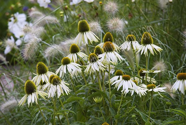 echinacea white swan - Google Search
