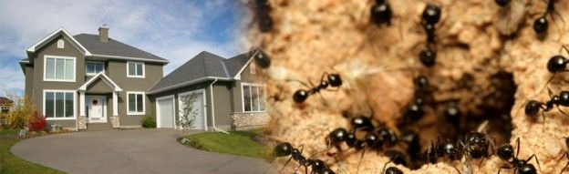 #Ants_control_burnaby Do you want to get rid of Odorous House Ant? Contact Advance pest control today to get advice and Odorous House Ant control solutions. http://www.advancepest.ca/odorous-house-ant/