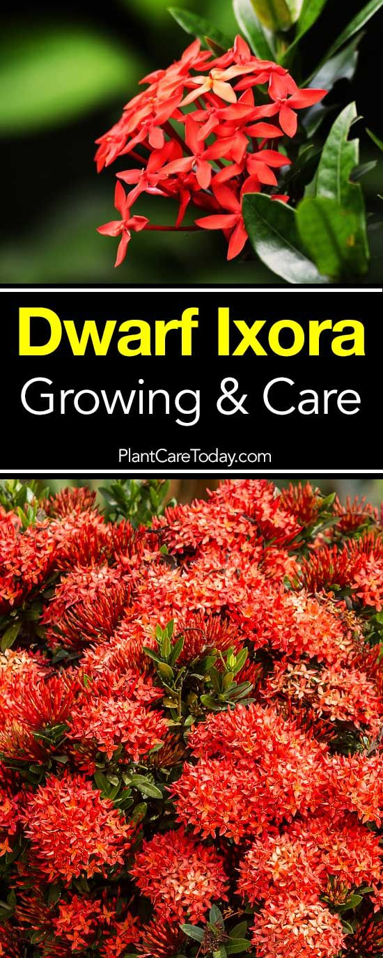 Buy Ixora In Orlando Florida Lake Mary Kissimmee Sanford: Dwarf Ixora: Growing And Care
