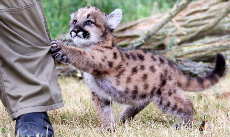 Cougar kitten snags man's pants leg