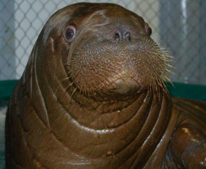 16 best walrus images on Pinterest | Animals, Sea lions and Animal ...