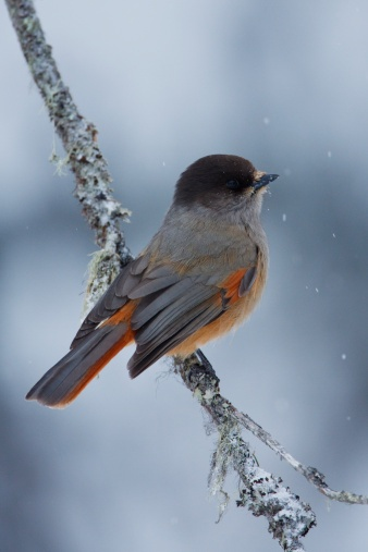 "Siberian jay is the symbol of Kainuu region. Siberian jay is often called ""the huntsman's friend"". In Finnish mythology, the siberian jay was considered as the bird that carried huntsmen's soul after their death."