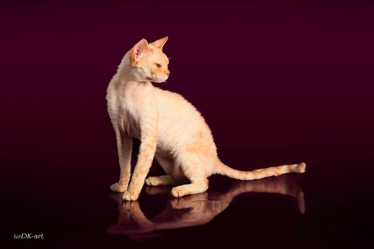 "Питомник девон-рексов в Тюмени: ""CATS SHOW"""