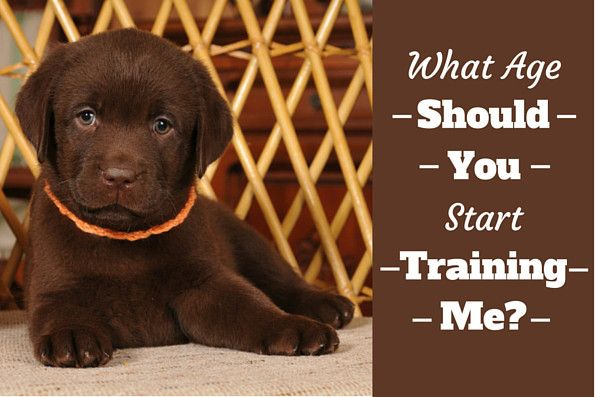Asking when to start training a puppy is often met with conflicting views. At 8 weeks or 6 months? Which is best? Read on to find out the answer!