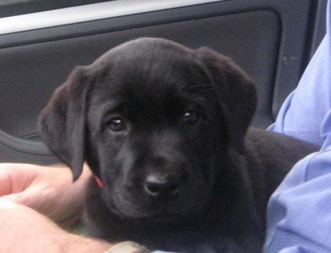 Black Labrador pup...