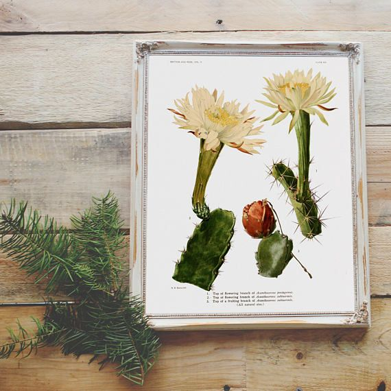 Acanthocereus Tetragonus Botanical Illustration Print