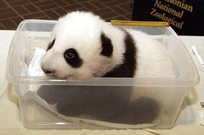 PANDA!: Pandas Baby, Babies, Baby Pandas,  Pandas Bears, Giantpanda, Baby Animal,  Ailuropoda Melanoleuca,  Coon Bears, Giant Pandas
