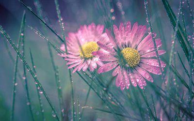 Scarica sfondi gocce di rugiada, erba, rosa margherite