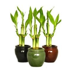 How To Care Lucky Bamboo Plant For Good Growing