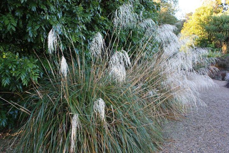 Chionochloa conspicua - Snow grass, hunangamoho