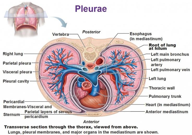 pleurae, pleural cavity, pericardial membrane, root of lung at hilum    respiratory system   respiratory system, thoracic cavity, respiratory  therapy