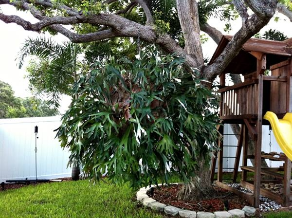 Staghorn Fern For Sale In Seminole Florida