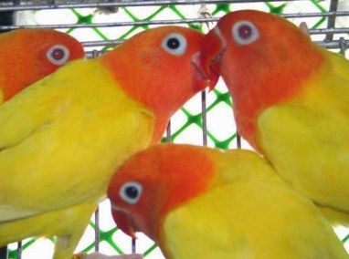 http://memelihara.com/lovebird-albino.html