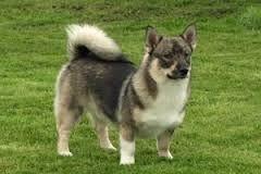 Image result for swedish vallhund