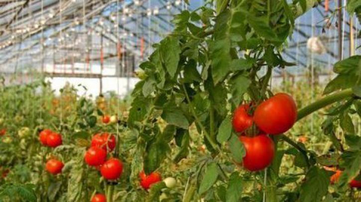 Πώς οι Αζτέκοι δημιούργησαν τη σημερινή ντομάτα :: left.gr