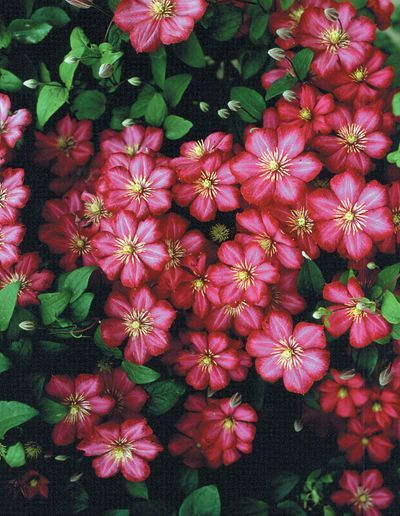 the  best climbing flowering vines ideas on   flower, Beautiful flower
