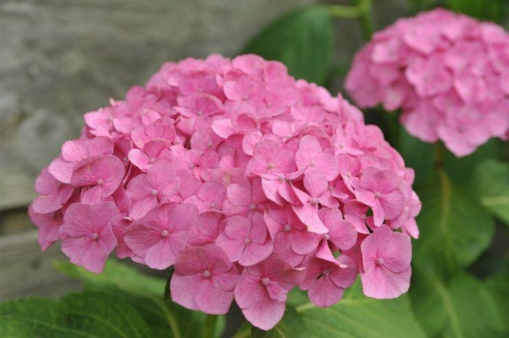 hortenzia miért nem virágzik