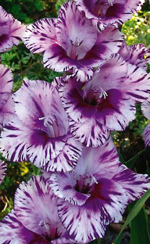 ~~Passos Hybrid Gladiolus   k van Bourgondien~~